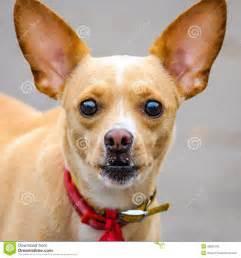 visage de grandes oreilles d animal familier de