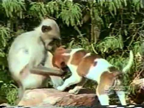 Sho Kuda Liar monyet vs anjing