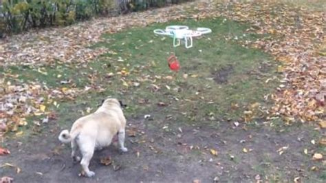 pug drone can t be bothered to walk the let a drone do the work for you bt