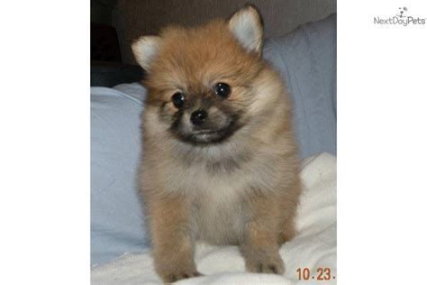 pomeranian boo price pomeranian puppy for sale near battle creek michigan f3a1cd8a 9c51