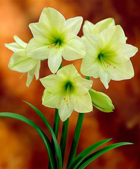 amaryllis fiore acquista amaryllis lemon bakker
