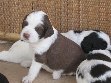 cani piccoli da appartamento in regalo cuccioli di mamma setter regalo petpassion