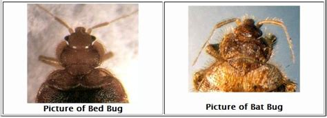 bat bug vs bed bug bat bugs vs bed bugs bedbugs images pictures photos