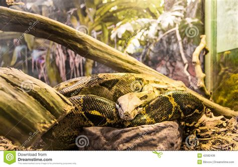 boa constrictor imperator stock photo image of glass