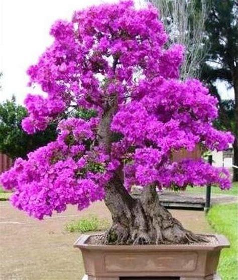 tanaman bunga hias  mudah  ditanam sinox nursery
