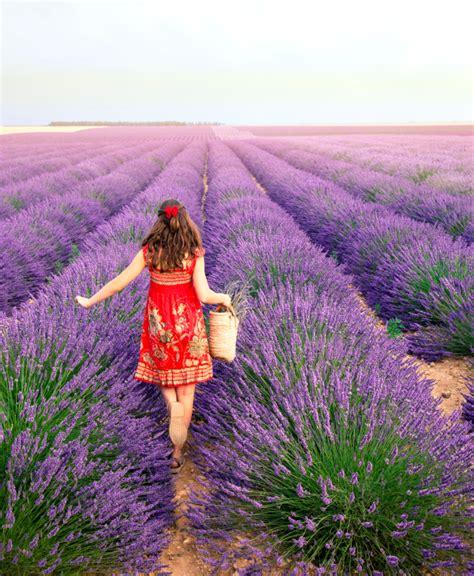 wann lavendel schneiden lavendel schneiden stecklinge lavendel schneiden