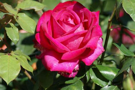 garden queen ludwigs roses