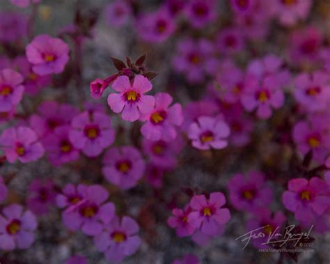 anza borrego flowers art in nature desert springshine anza borrego wildflowers