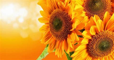klasifikasi  ciri ciri bunga matahari gambar