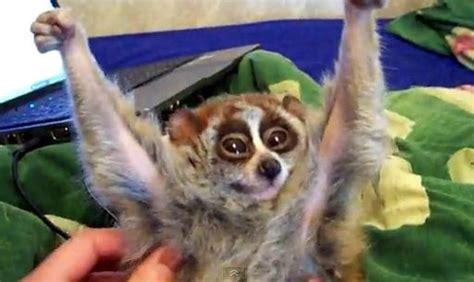 slow loris being tickled