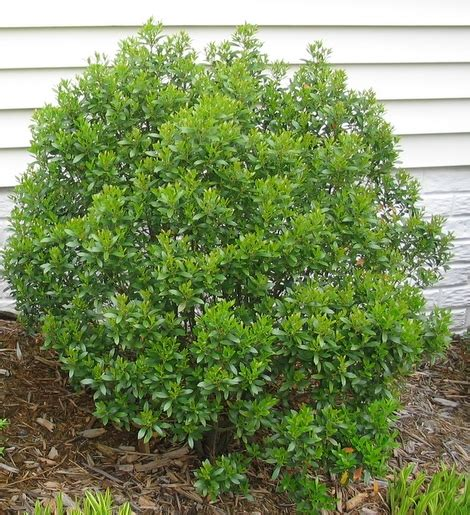 inkberry holly is native and evergreen