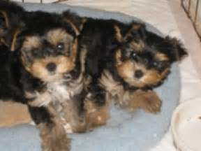 teacup yorkie puppies for sale in wisconsin x teacup yorkie puppies for free adotion ashwaubenon wi
