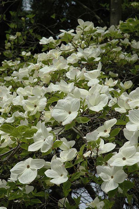 eddie s white wonder flowering dogwood cornus eddie s