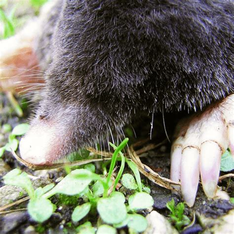 Garden Mole by How To Get Rid Of Garden Moles How To Get Rid Of Stuff