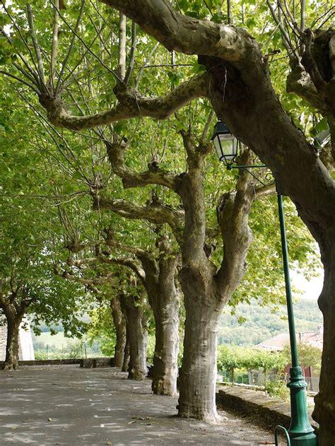 niwaki plane trees  france