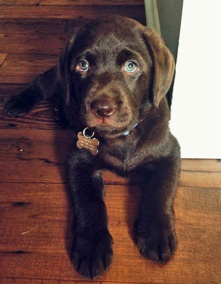 chocolate lab puppies maine chocolate lab puppy wish ant would let me get a lab so lol chocolate labs