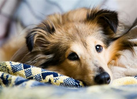 focal seizures in dogs seizures causes symptoms more petmd