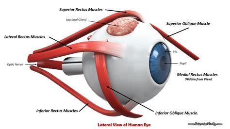 diagram of eye anatomy eye diagram anatomy eye muscles diagram human