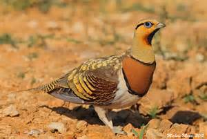 birds pictures birds of steppes and plains galleries bird pictures