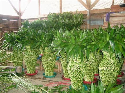 merawat tanaman  aneka tanaman hias