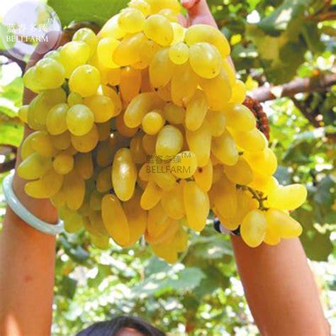 fruit 08 grape bellfarm golden green sweet grape organic seeds
