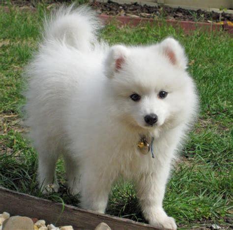spitz puppies yuki the japanese spitz puppies daily puppy