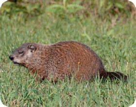 groundhog in my backyard orlando groundhog control company