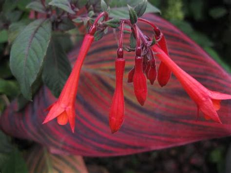 fuchsia triphylla group planting growing and propagating information from igarden