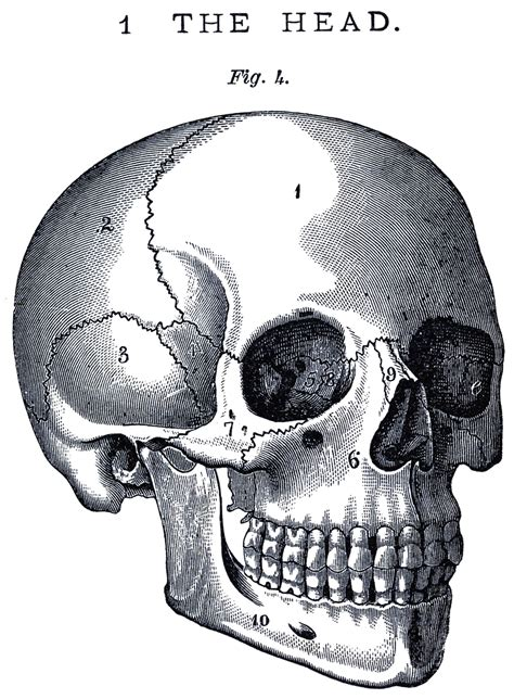 Skull Anatomy Game
