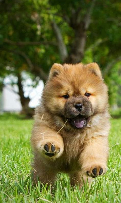 chow chow chow chow wallpaper android apps on play