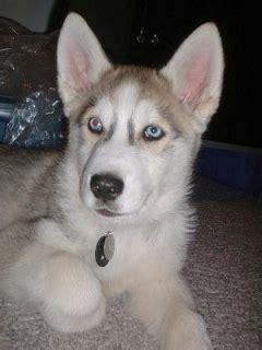 wolf puppies for adoption wolf puppies for adoption livingston for sale beaumont port arthur pets dogs