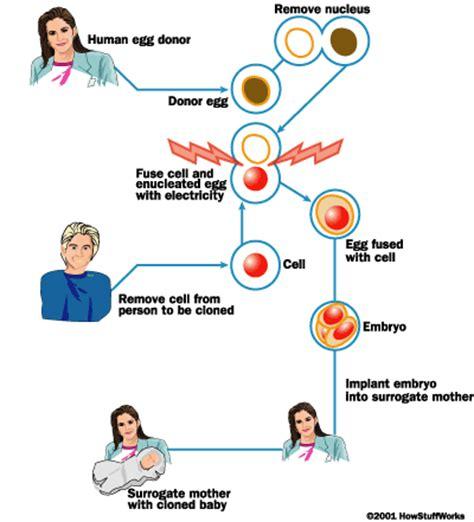 human cloning: how does human cloning work diagram