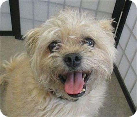 pug rescue alberta cujo adopted 10668 lloydminster ab yorkie terrier pug mix