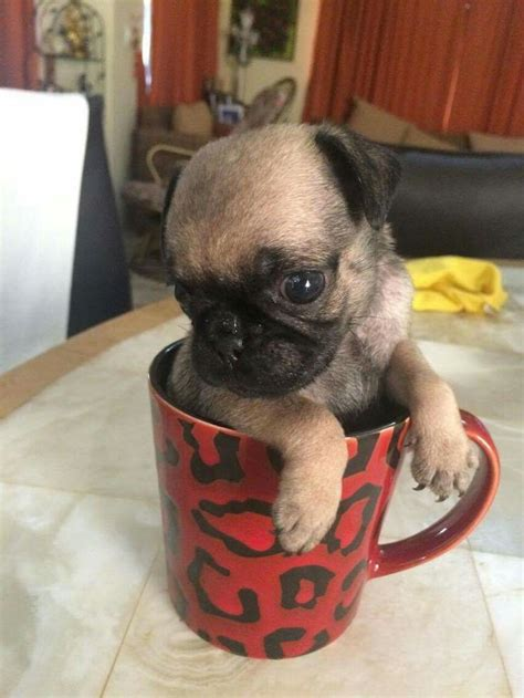 pug in a mug 17 best images about pugs dogs puppies on i