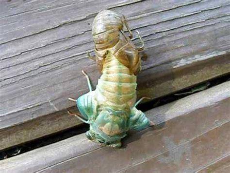 image gallery lotus bug