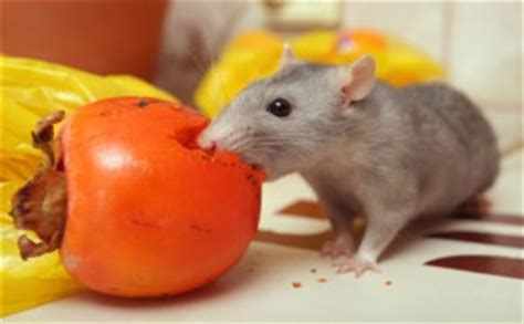 4th of july attracts mice and especially rats this time of