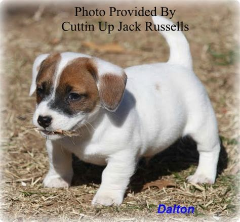 shorty puppies for sale in florida terrier breeders shorty puppies for sale
