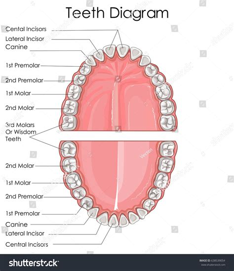 permanent teeth diagram illustration education chart biology human teeth stock vector
