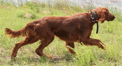 irish setter family dog sporting dogs list of all sporting dog breeds k9