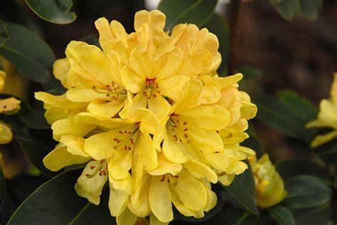 hans hachmann rhododendrons en