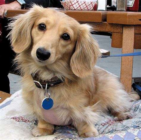 what colors do golden retrievers come in best 25 golden dachshund ideas on dachshund mix cutest mixes and