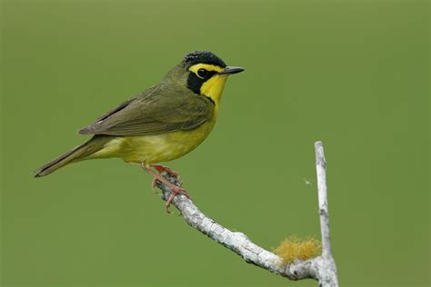 kentucky warbler audubon field guide