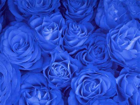 wallpaper mawar biru foto bunga mawar biru blue rose foto terbaru 2014