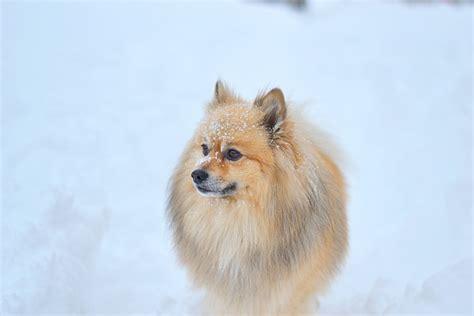 klein spitz pomeranian snowy casual look cvetybaby