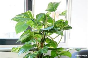Herb Indoor Planter philodendron houseplant types how to grow care and