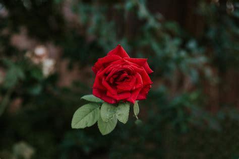 wallpaper bunga untuk garskin best of wallpaper bunga mawar untuk android kezanari com