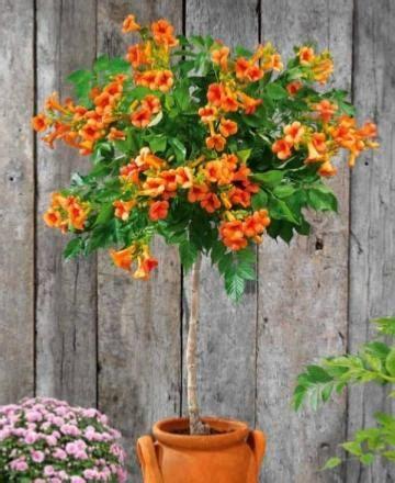 Arbuste En Pot Pour Terrasse Plein Soleil by Arbustes Pour Pots Terrasse Et Balcon Achat Vente