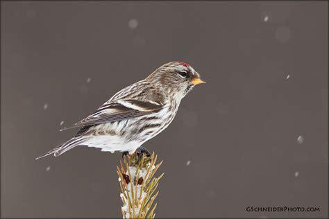 photo common redpoll