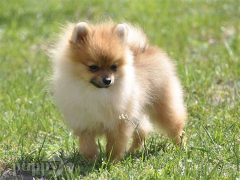 tiny pomeranian puppy tiny pomeranian puppy for sale puppy
