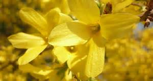 what is a state flower kentucky state flower the goldenrod proflowers blog